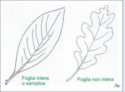 Amint tavole di morfologia vegetale le foglie - Foglia canadese contorno foglia canadese ...
